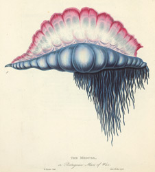 The Medusa, or Portuguese Man of War